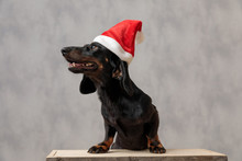 Teckel Dog With Christmas Hat ...