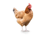 Isolated Hen On A White Background. Free Range Chicken. Happy Hen The Hen Lays An Egg.
