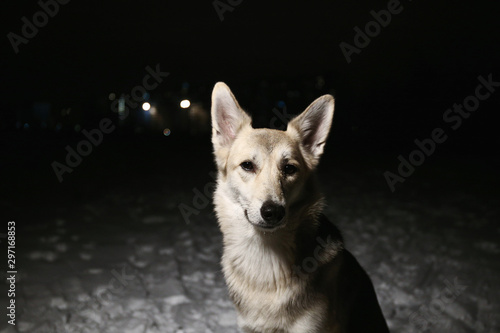 Fotografia, Obraz  Portrait of a dog in the field at night