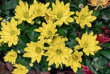 Bright Yellow Chrysanthemum Fl...
