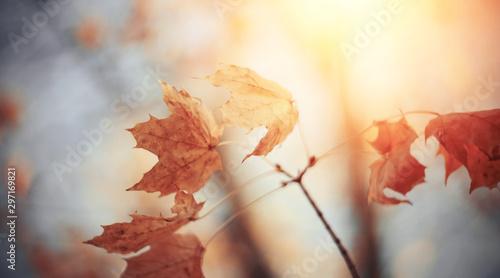 Obraz na plátně Branch of maple tree with autumn leaves.