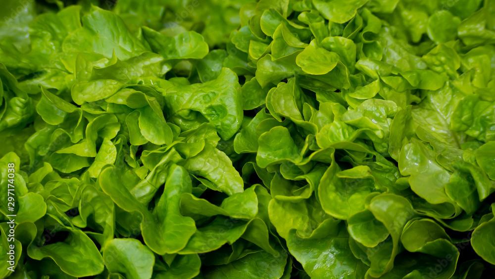 Fototapety, obrazy: Macro of fresh endive salad from the market