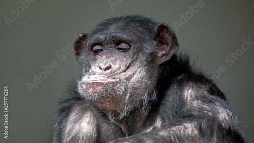 Fotografie, Tablou Funny chimpanzee portrait oFunny chimpanzee portrait on background, close upn ba