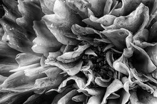 Dahlia Flower In Black And Whi...
