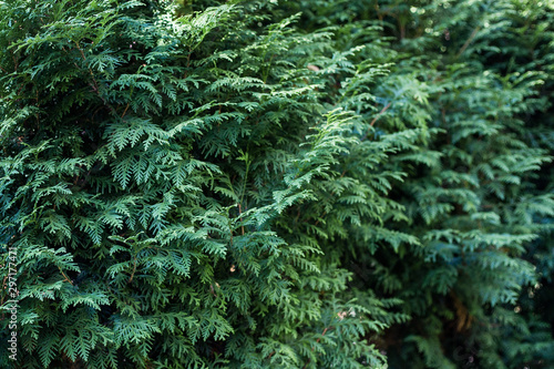 Thuja occidentalis background Canvas