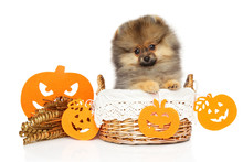 Pomeranian Spitz Puppy In Bask...