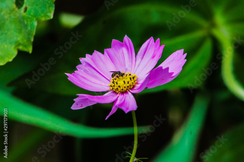 Purple Cosmos with Bug