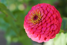 A Pink Common Zinnia Flower Wi...