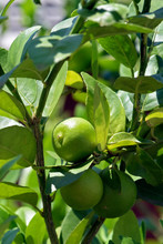 Key Lime Tree, Or Limao Galego...