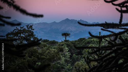 Photo Sunset in an Araucanian forest or forest of 'Pehuenes'