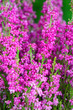 canvas print picture - Macro shot of a purple garden heather