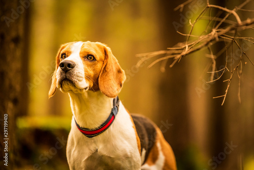 Cadres-photo bureau Chasse The beagle dog sitting in autumn forest. Portrait with shallow background