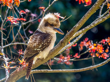 Side Profile Of A Kookaburra S...