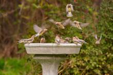 A Flock Of Cedar Waxwings Landing On A Birdbath (Bombycilla Cedrorum)