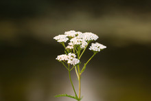 Yarrow Blooming In White Flowers. Medicinal White Flower With Many Inflorescences Close-up On A Brown Background In A Natural Environment.