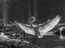 Great White Egret Landing With...