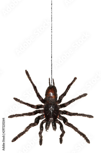 Black hanging tarantula spider handing from its web isolated on white Wallpaper Mural