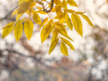Maple Branches With Orange-yellow Leaves In Autumn, In The Light Of Sunset. Acer Negundo, Or Box Elder, Boxelder Maple, Ash-leaved Maple. Dry Autumnal Leaves Background, Autumn Park
