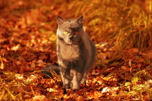 Grey Wild Cat With Bright Oran...