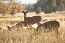White Tail Does Foraging In Gr...