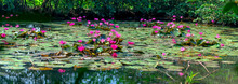 Water Lilies Bloom In The Pond Is Beautiful. This Is A Flower That Represents The Purity, Simplicity