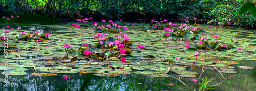 Photo Stands Lotus flower Water lilies bloom in the pond is beautiful. This is a flower that represents the purity, simplicity