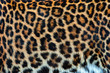 canvas print picture - Real skin texture of Leopard