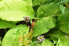 タイムの花にトックリバチ