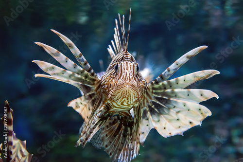 Carta da parati Beautiful lion fish hovering in mid water hunting for small prey in blue water