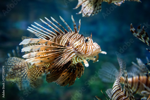 Valokuva Beautiful lion fish hovering in mid water hunting for small prey in blue water