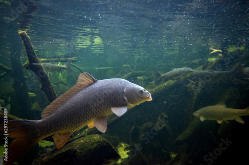 Canvas-taulu Freshwater fish carp (Cyprinus carpio) in the pond