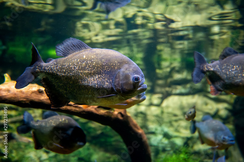 Valokuvatapetti Piranha fishes in a natural environment