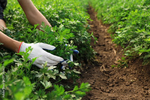 Woman gathering fresh green parsley in field, closeup Tapéta, Fotótapéta