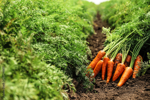 Fotomural  Pile of fresh ripe carrots on field. Organic farming