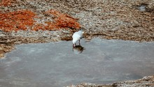 Thirsty Seagull