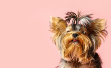 Adorable Yorkshire Terrier On ...