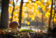 Nice Porcini Mushroom In Sunny Wood
