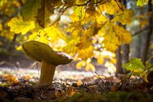 Porcini Mushroom In Oak Forest