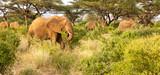Fototapeta Sawanna - Many elephants go through the bushes in a jungle