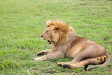 Fototapeta Sawanna - Big lion yawns lying on a meadow with grass