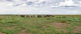 Fototapeta Sawanna - A large herd of elephants grazes in the vastness of the savannah