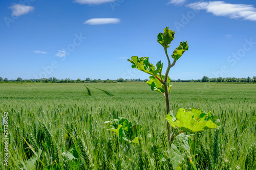 Fotografie, Obraz  Tall weed seen growing in a large summer field of English barley with a near clear blue sky, seen after a heavy rain show