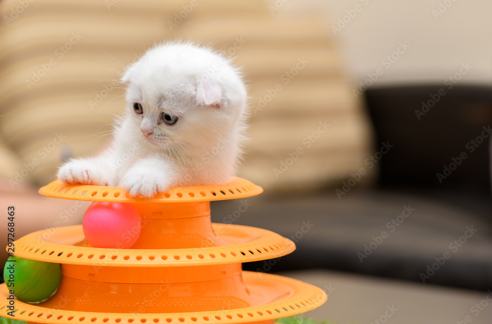 Fototapety, obrazy: Cute white Scottish fold kitten playing with a toy