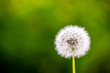 dandelion cloesup photography with green background