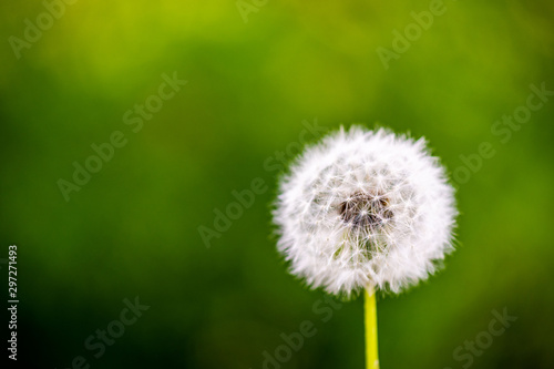 Fototapeta dandelion cloesup photography with green background  obraz
