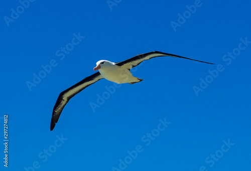 Obraz na plátně Albatros à sourcils noirs,