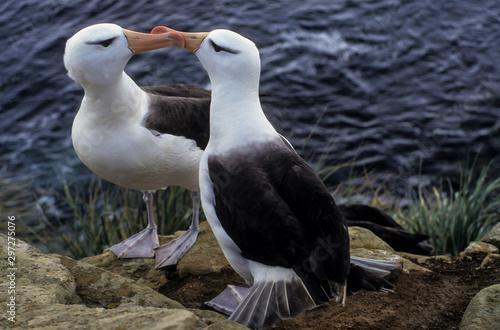 Albatros à sourcils noirs, Canvas Print