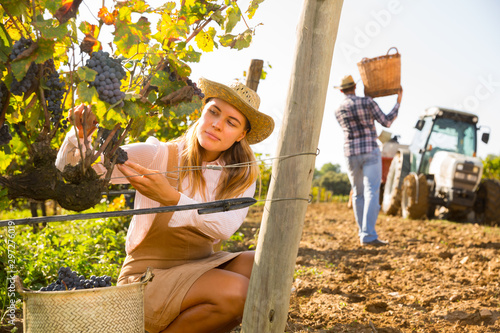 Fotografía Woman picking black grapes in vineyard
