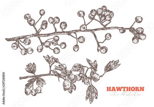 Fotografie, Obraz Vector set of sketch hand drawn branches of hawthorn with foliage and berries