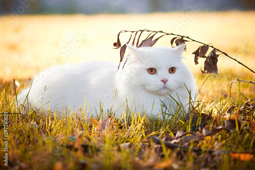Beautiful Turkish Angora cat with long white hair playing outside Wallpaper Mural